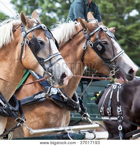 Draft horses in full harness at a country farm fair.