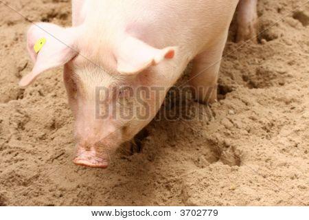 Portrait Of Cute Piglet