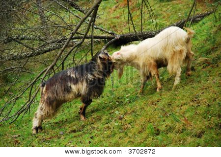 Goat Fight