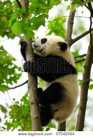 Bebé panda gigante sobre el árbol
