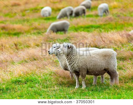 Herde Schafe auf der Wiese
