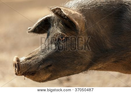 profile portrait of wild black pig