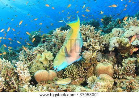Rusty Parrotfish and other tropical fishes on a coral reef