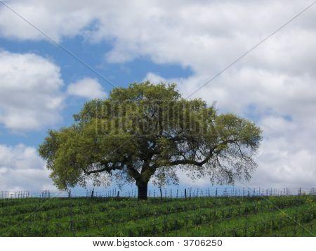Vinyard Tree