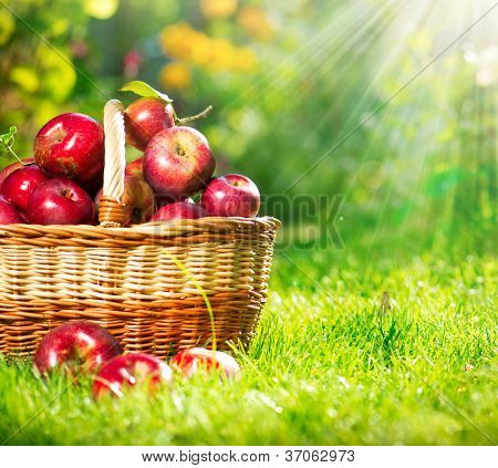 Organic Apples in a Basket outdoor. Orchard. Autumn Garden.Green Grass