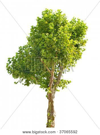 single London plane tree isolated on white background