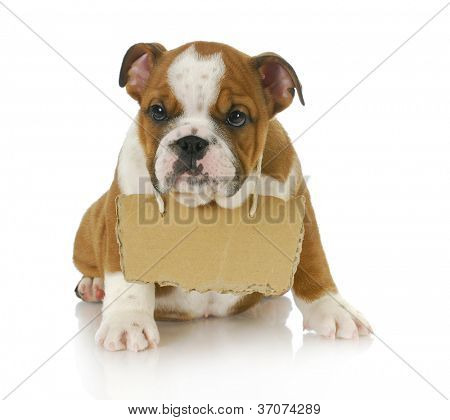 puppy with a message - english bulldog puppy with a sign around his neck on white background 8 weeks old