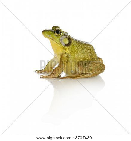 bullfrog species from southwestern ontario - studio shot isolated
