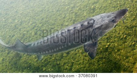 The Sturgeon. Big fish in the Danube river. This fish is a source for caviar and tasty flesh.