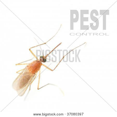 Anopheles mosquito - dangerous vehicle of infection. Picture with space for your text.
