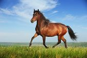 foto of thoroughbred  - Beautiful brown horse running trot on the field - JPG
