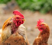 foto of fighting-rooster  - A rooster with a plucked neck and a puzzled red hen - JPG