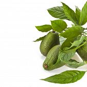 pic of avocado tree  - Border of Avocado fruits with young leaves from Avocado tree - JPG