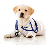 foto of vet  - Little dog as a vet wearing robe and stethoscope  - JPG