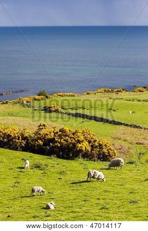 landscape with sheep near Crackaig, Highlands, Scotland