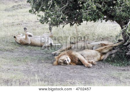 Lions Resting After Plentiful  Feeding