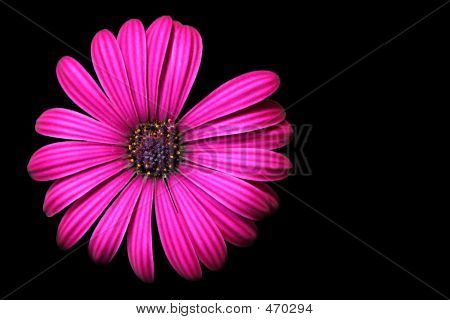 Pink Flower On Black Background With Flowers