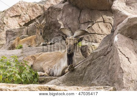 Wild Screw-horned Male-goat.