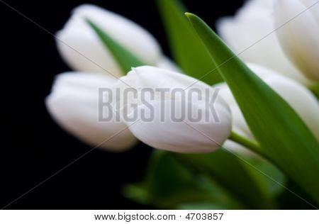 Soft Tulip Flower