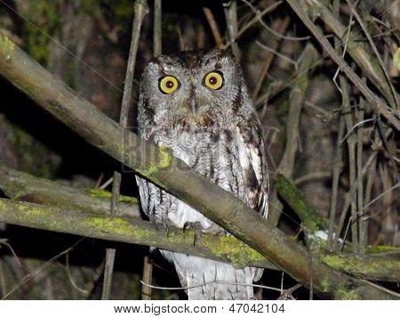Western Screech-owl at Night