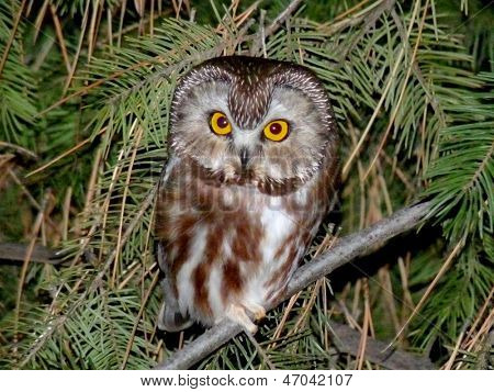 Northern Saw-whet Owl at Night