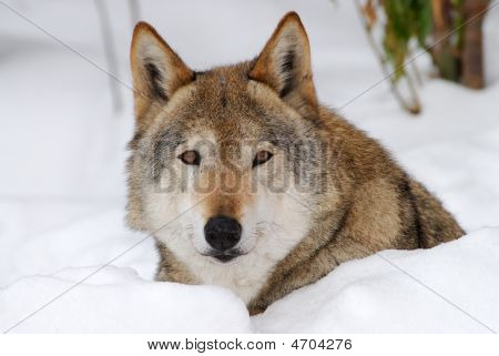 Female Wolf On The Snow