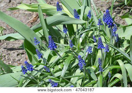 Muscari flor