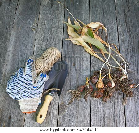 Garden Shovel, Gloves And Dug Dry Tulips On The Old Wooden Table