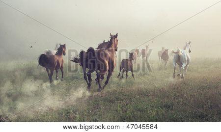 Pferde im Staub