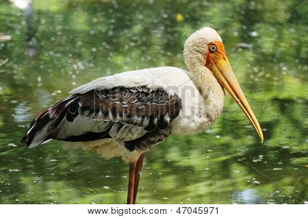 Beautiful Stork close up with lake background