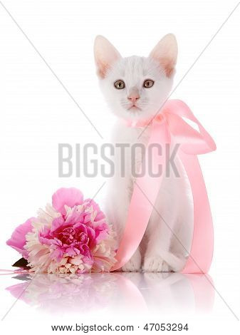 The White Kitten With A Pink Tape Sits With A Peony Flower.