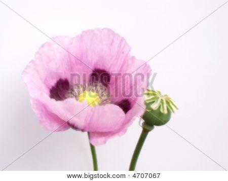 Purple Poppy On White