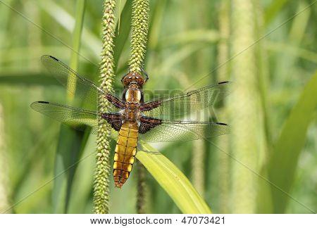 Broadbodied Chaser (Libellula depressa)