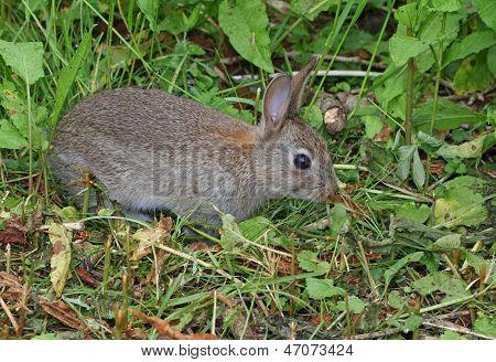 Wild Rabbit (Orytolagus cuniculus)