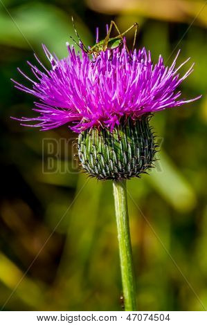 A Purple Bull Thistle Wildflower with a Tiny Green Grasshopper on Top.