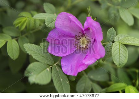 Pink Wild Rose Flower