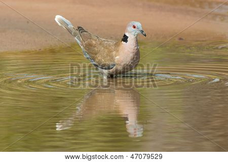 African Mourning Dove Standing In Water