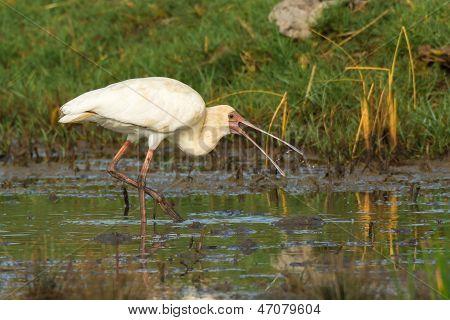 African Spoonbill Feeding In A Marsh