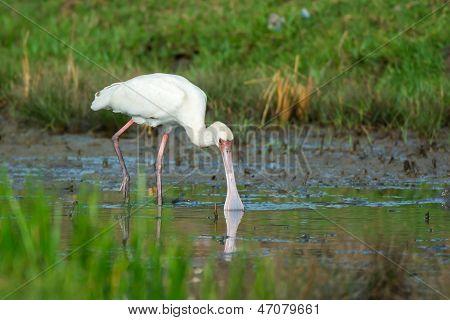 African Spoonbill In Marsh