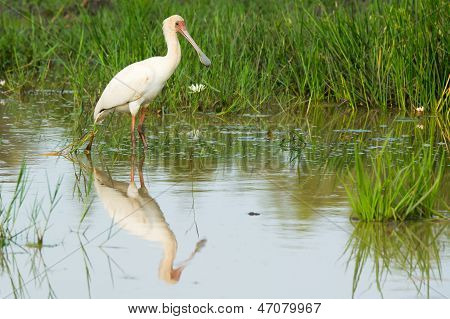 African Spoonbill With Reflection