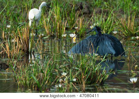 Black Egret In Marsh