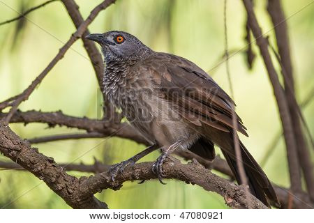 Brown Babbler Perched
