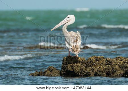 Pink-backed Pelican Looking Over Shoulder