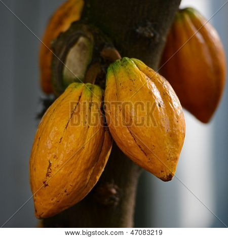 Cocoa (Cacao) pods on tree branch