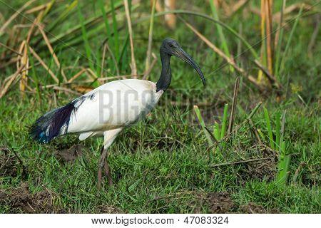 Sacred Ibis In Grassy Marsh