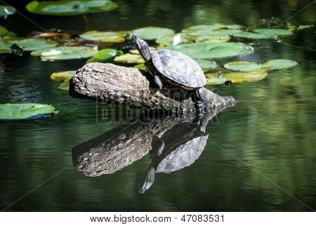 Turtle on a log