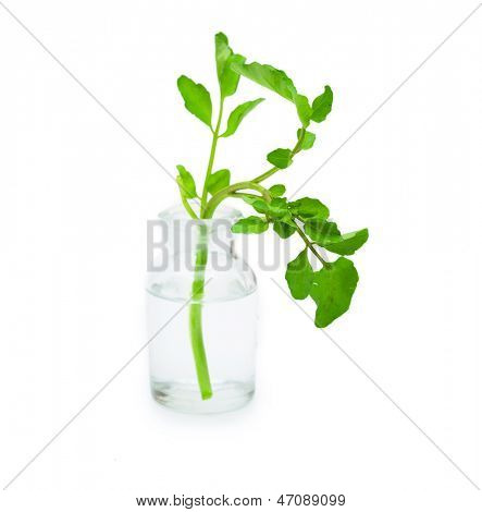 Watercress in an old  bottle, isolated on white.