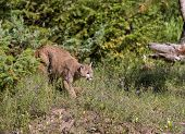 stock photo of cougar  - Cougar coming out of the brush ready to pounce on its prey - JPG