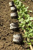 stock photo of mange-toute  - Young mangetout vegetable plants ready for planting - JPG