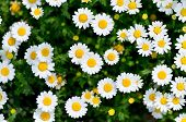 stock photo of chrysanthemum  - North Pole - JPG